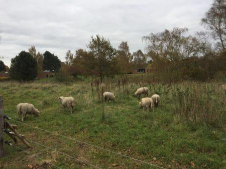 Græssende dyr indtager naturområder i Brabrand