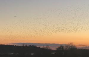 Stæreflokke skaber sort sol over Brabrand Sø