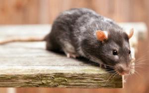 Antallet af anmeldelser om rotter stiger eksplosivt i Brabrand